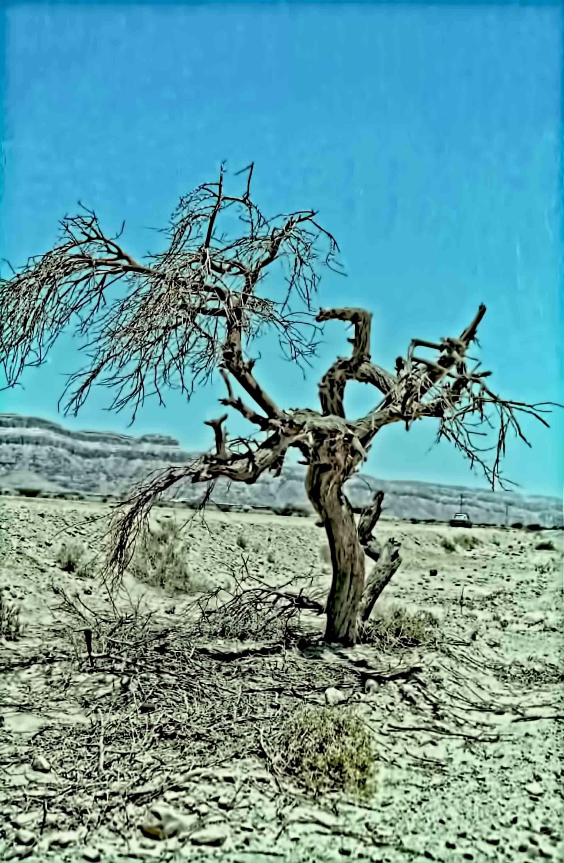 עץ שיטה בודד בערבה