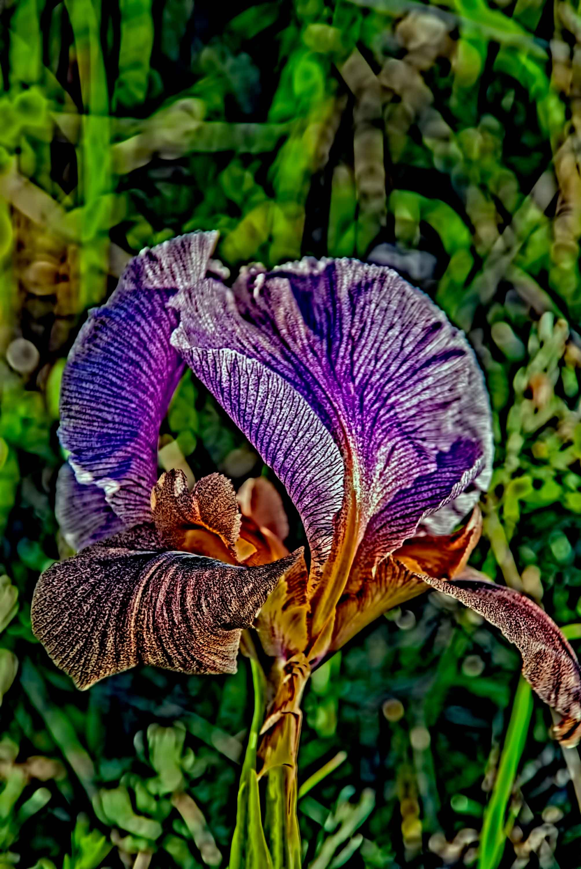 אִירוּס הַגִּלְבֹּעַ או אִירִיס הַגִּלְבֹּעַ : Iris hayne