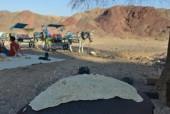 יום כיף במדבר/טיול אתונות בחוות הגמלים